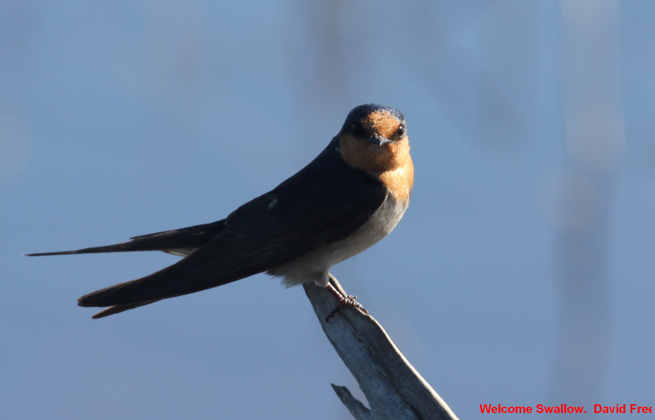 Welcome Swallow Friends Of Lake Claremont