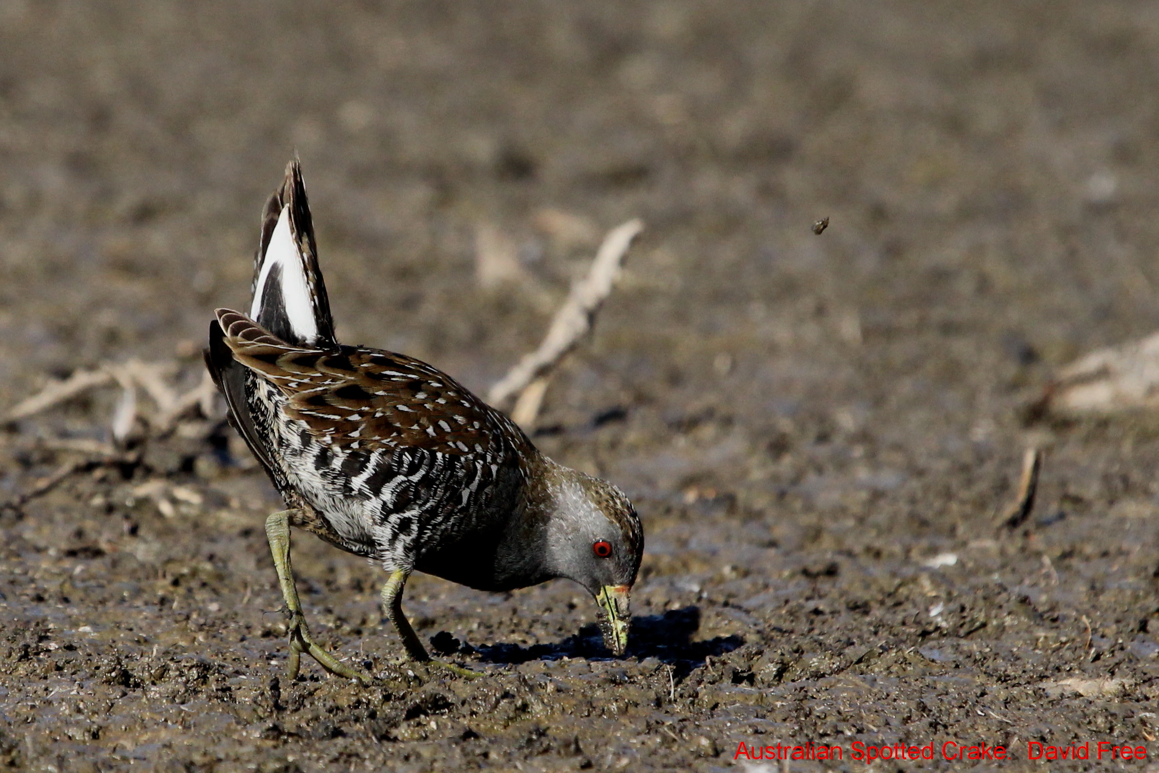 Australian Spotted Crake – Friends of Lake Claremont